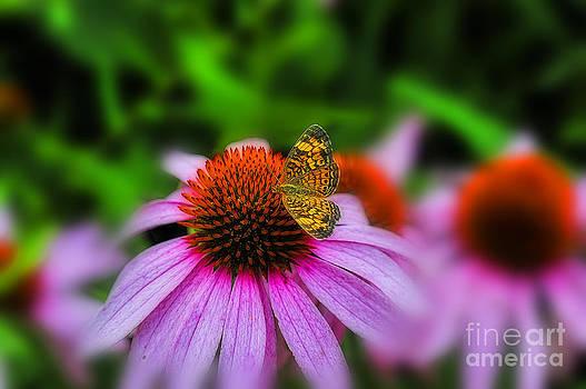 Dan Friend - Purple coneflower flower with butterfly