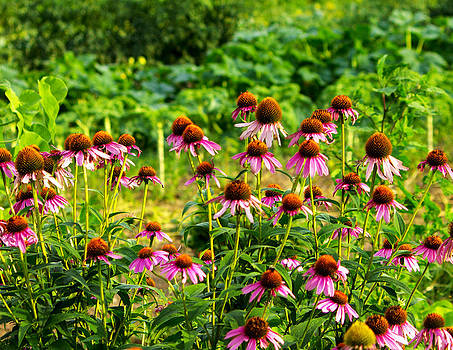 Purple Coneflowers by Jose Oquendo