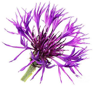 Jo Ann Snover - Purple Cornflower
