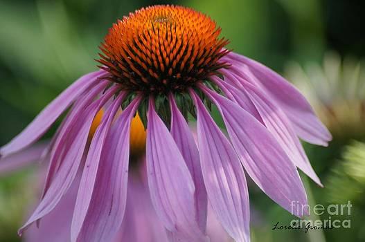 Purple Cornflower by Lorelle Gromus