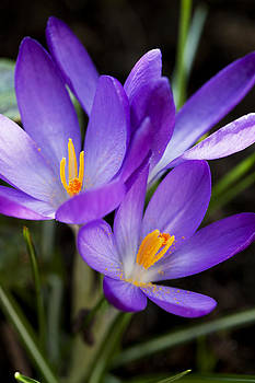 Purple Crocus by Gillian Dernie