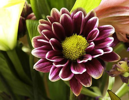 Bonnie Davidson - Purple Dahlia