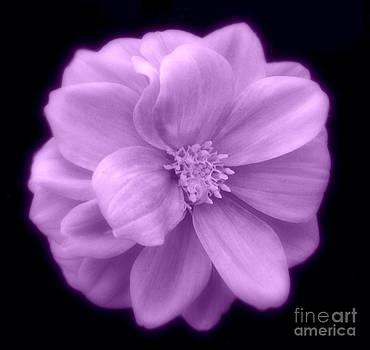 Linda Rae Cuthbertson - Purple Dahlia Flower