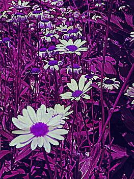 Purple Daisies by Andrea Dale