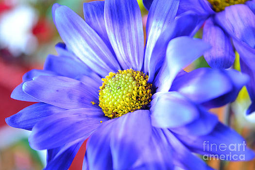 Purple Daisy by Briella Danowski
