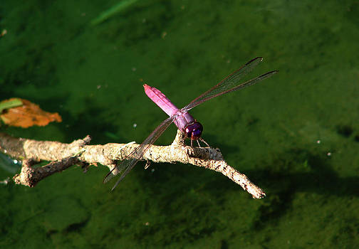 Purple Dragonfly by Ella Char