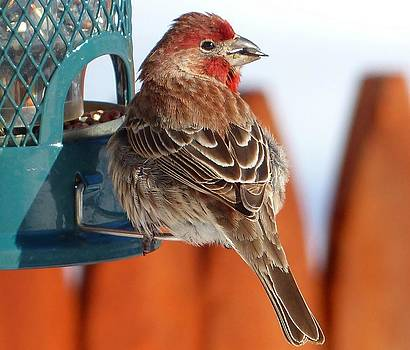 Purple Finch - NH State Bird by Elaine Franklin