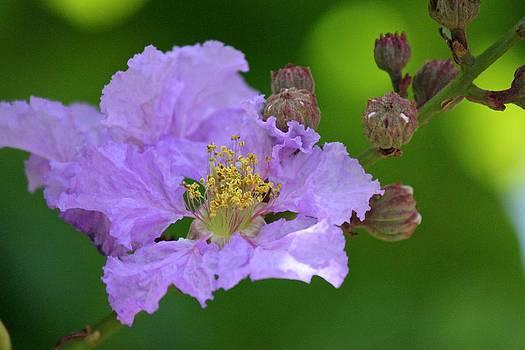 Purple Flower w Buds by Bonita Hensley