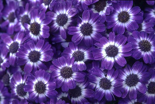 Harold E McCray - Purple Flowers
