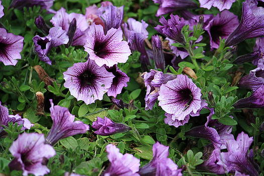 Purple Flowers by Robbie Clayton