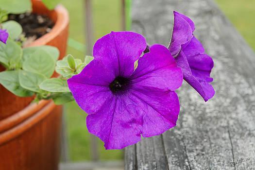 Purple Glory by Dulce Levitz