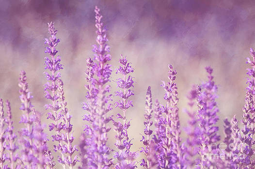 Purple Haze by Pam  Holdsworth