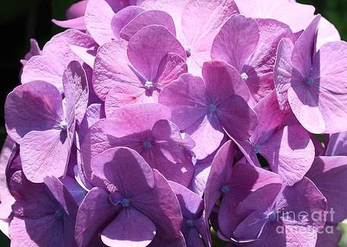 Danielle Groenen - Purple Hydrangea