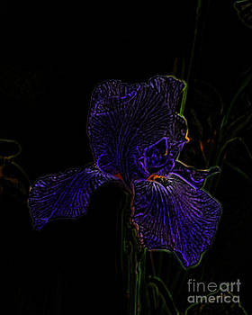 Amanda Collins - Purple Iris