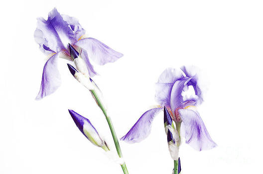 Andee Design - Purple Iris Glow