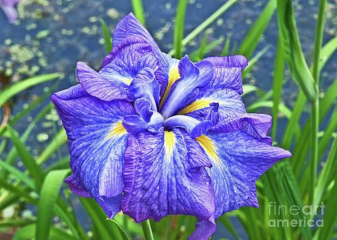 Purple Iris by Mike Covington