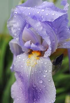 Purple Iris by Pat Thompson