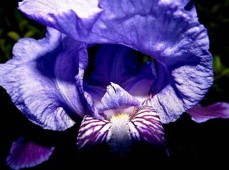 Purple Iris Spotlight by Kurler Warner