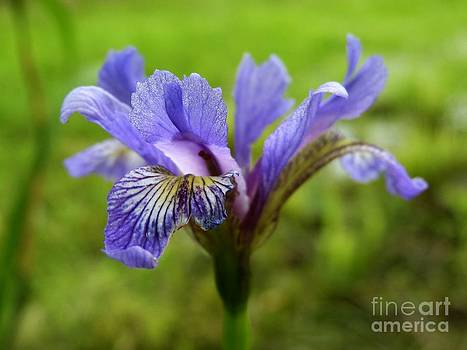 Christine Stack - Purple Iris Wildflower