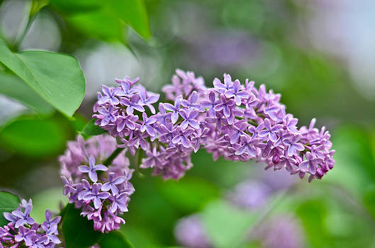 Purple Lilac by Cathy Hacker