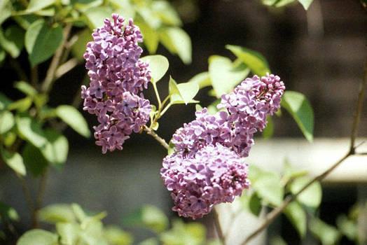 Stephen Proper Gredler - Purple Lilac