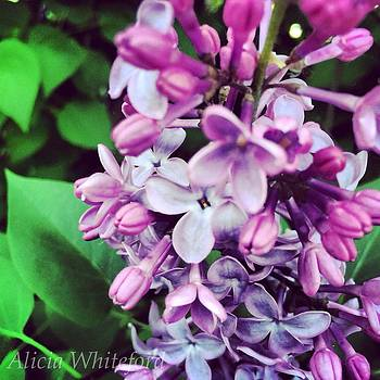 Purple Lilacs  by Alicia Whiteford