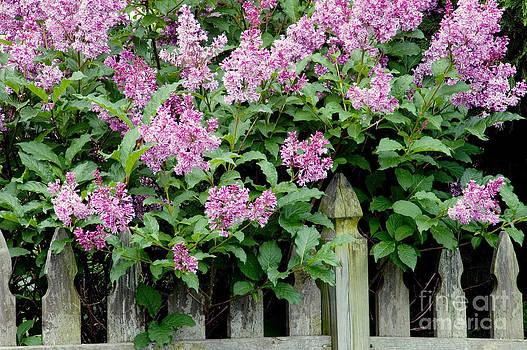 Oscar Gutierrez - Purple lilacs next to a fence.