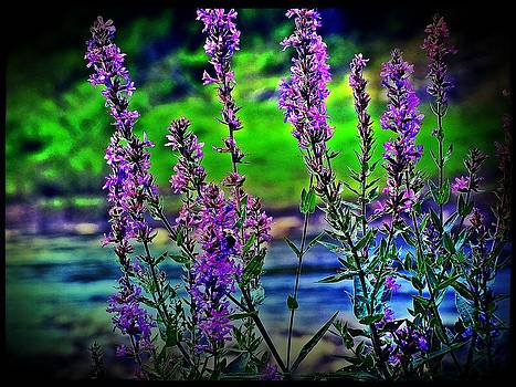 Purple Loosestrife by Christina Shaskus
