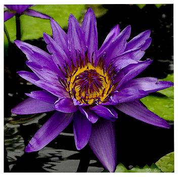 Purple Lotus Water Lilies by James C Thomas