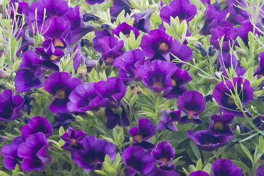 Sandra Foster - Purple Miniature Petunia Blossoms - Digital Oil Art Work