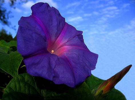 Purple Morning Glory by Bill Marder