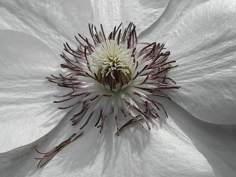Purple on White by Don Pettengill