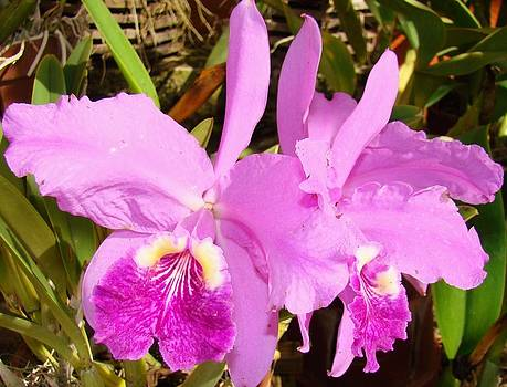 Purple Orchid 2 by Van Ness