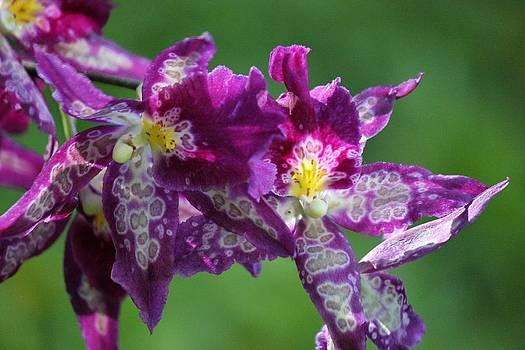 Purple Orchid by Bonita Hensley
