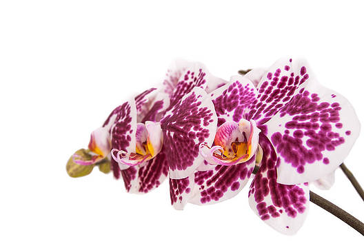 Purple orchid with buds isolated on white background by Iryna Soltyska