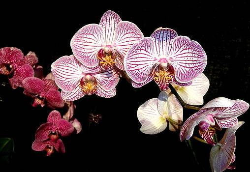 Kate Gallagher - Purple Orchids