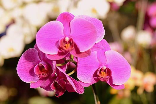 Purple orchids by Silvie Gunawan