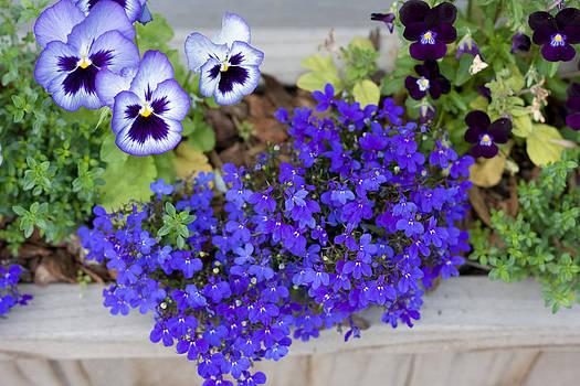 Purple Pansy by Jesska Hoff