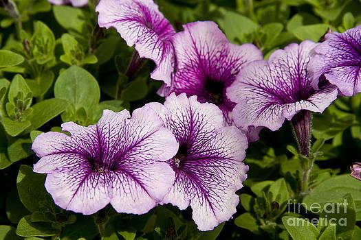 Jill Lang - Purple Petunias
