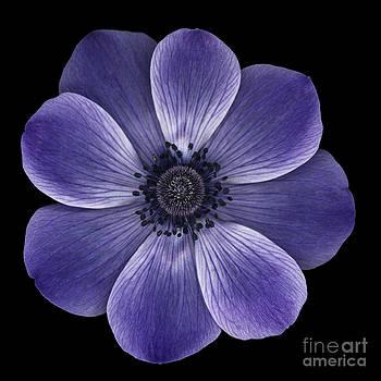 Oscar Gutierrez - Purple poppy