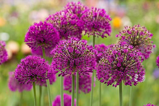 Purple Puff Balls by Teresa Hunt