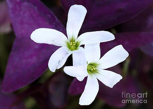 Sabrina L Ryan - Purple Queen Flowers