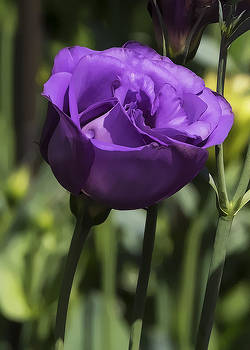 Purple Rose by Christina Durity