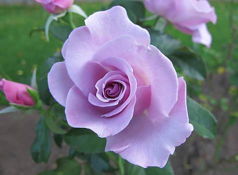 Purple Rose by Lynn Harrison