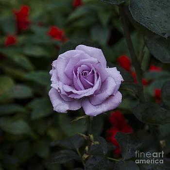 Pravine Chester - Purple Rose
