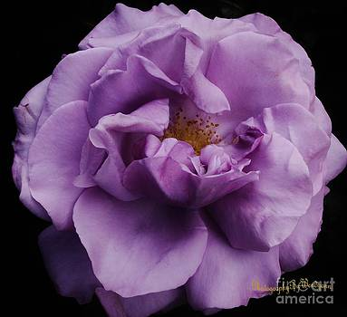 Purple Rose by Wendy Martin
