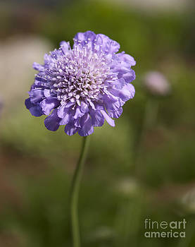 Purple Scabious columbaria by Tony Cordoza