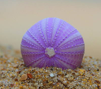Purple Sea Urchin 2 by Cathy Lindsey