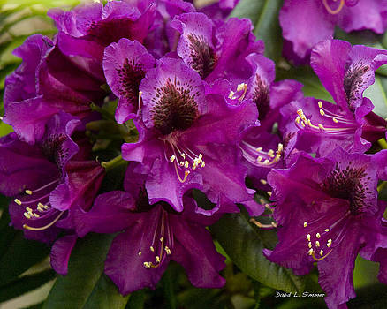 Purple Splendor Rhododendron by David Simmer