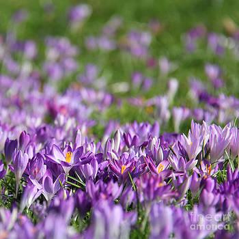Purple Spring by Karin Ubeleis-Jones